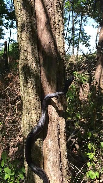 Black Snake 2.mp4