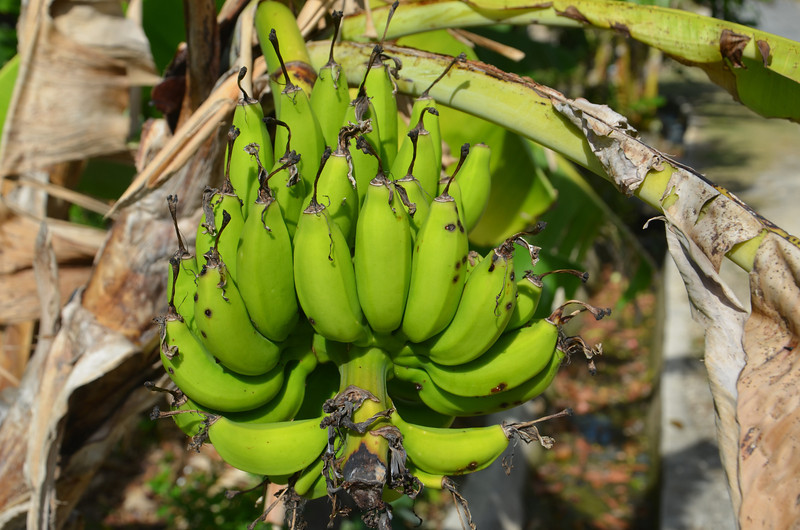 DSC_7334-bananas-on-tree.JPG