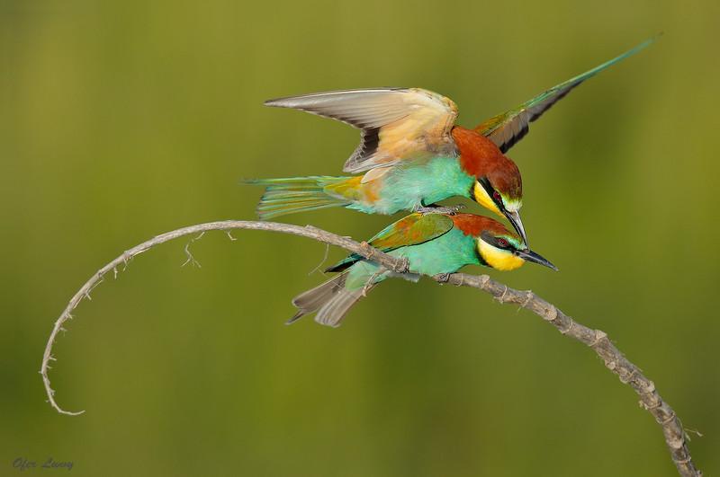European Bee-eater 4.jpg