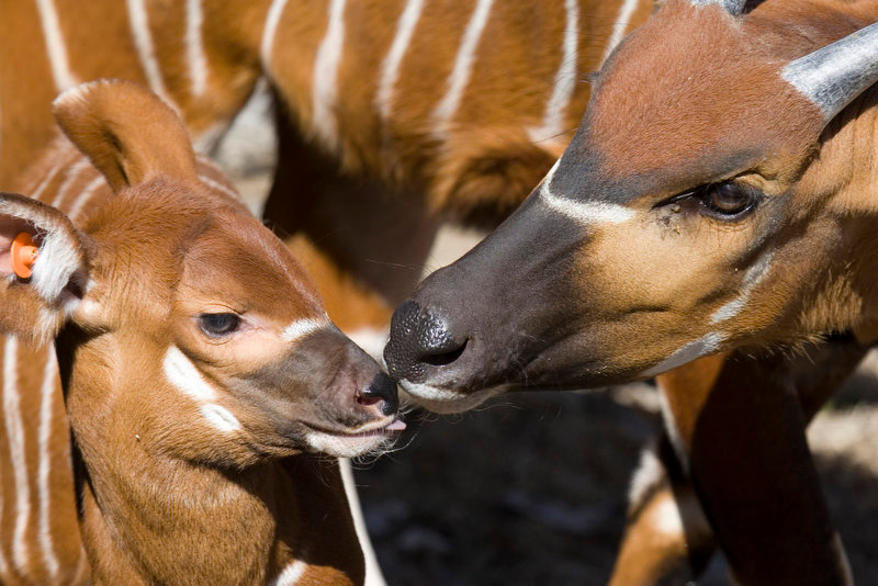 ". The Denver Zoo celebrated the birth of an endangered eastern bongo antelope. Zookeepers named the rambunctious male calf Mkono, (muh-kone-oh) which means ""handful\"" in Swahili. Mkono is the fifth calf born to mother, Megan. At Mkono\'s baby wellness exam, zoo veterinarians gave the new calf a clean bill of health. The young calf weighed in at 45 pounds but when he is full grown, he could weigh up to 900 pounds. Zookeepers say the youngster is very adventurous and is enjoying exploring his new outdoor surroundings under mother\'s watchful eye.  (David Parsons, Denver Zoo)"