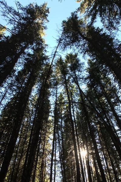 Tall Spruce