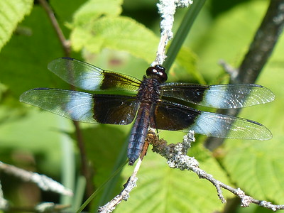 20170729 Widow Skimmer