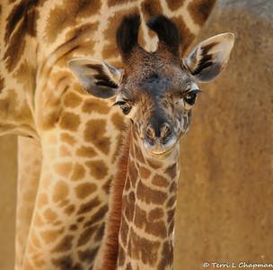 """Sofie """"The Baby Masai Giraffe"""""""