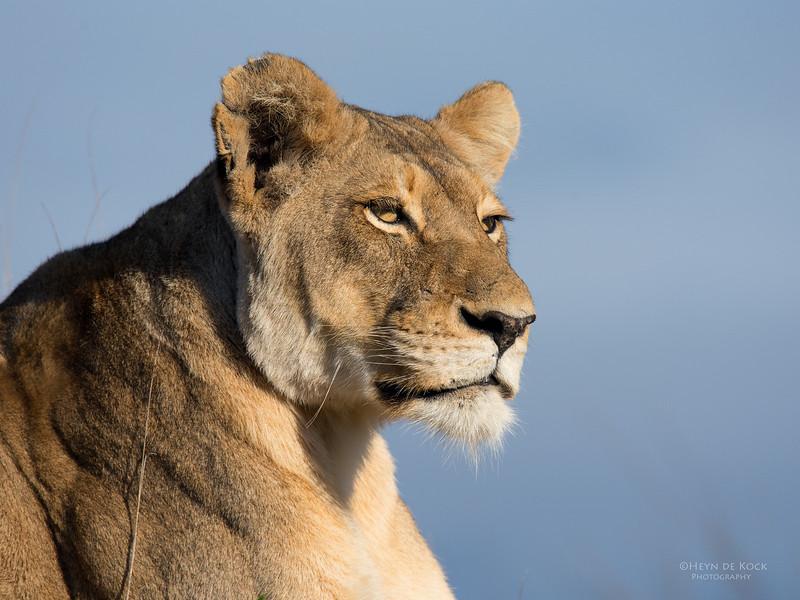African Lion, Sabi Sands (EP), SA, Sept 2015-26.jpg