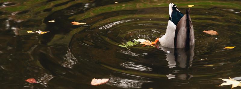 Un pato buceando