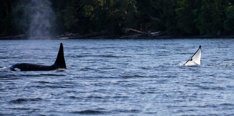Orca's