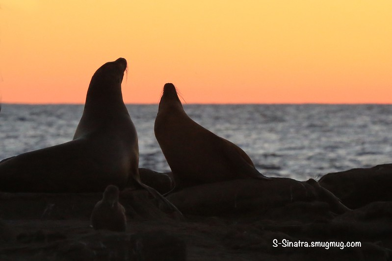 La Jolla seals sunset 00807 8.45.11 PM.jpg