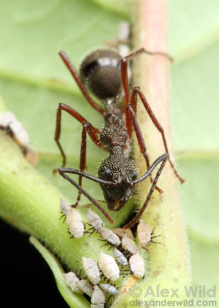 Dolichoderus attelaboides