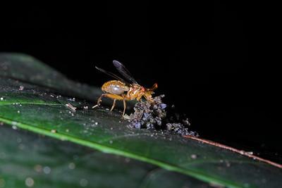 Stalk-eye Fly
