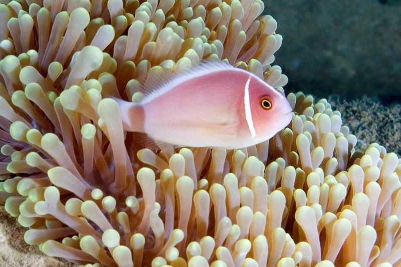 Pink Anenome Fish 2.jpg