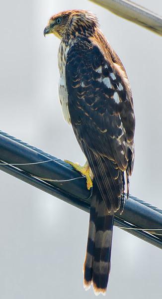 ?? Hawk
