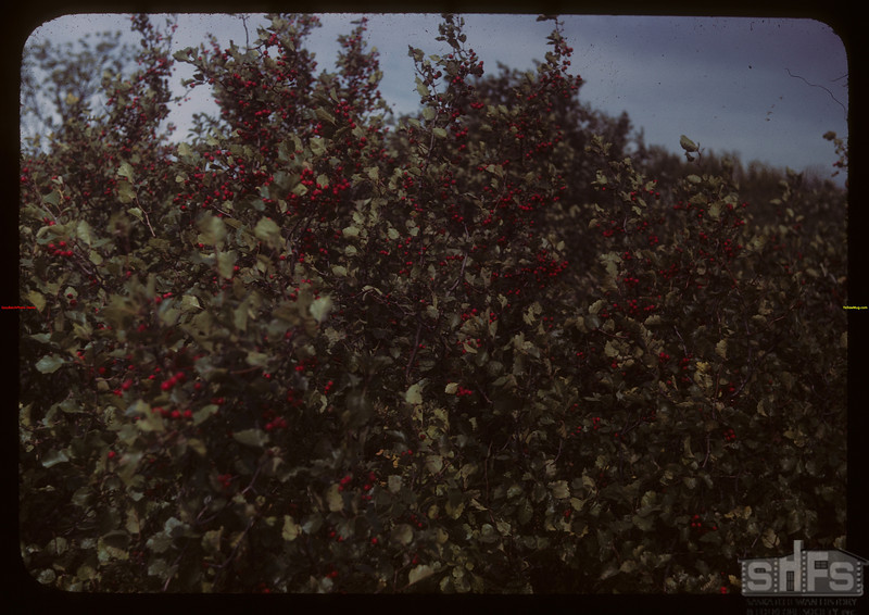 Hawthorne tree - SW of Yorkton.  Otthon.  09/09/1949