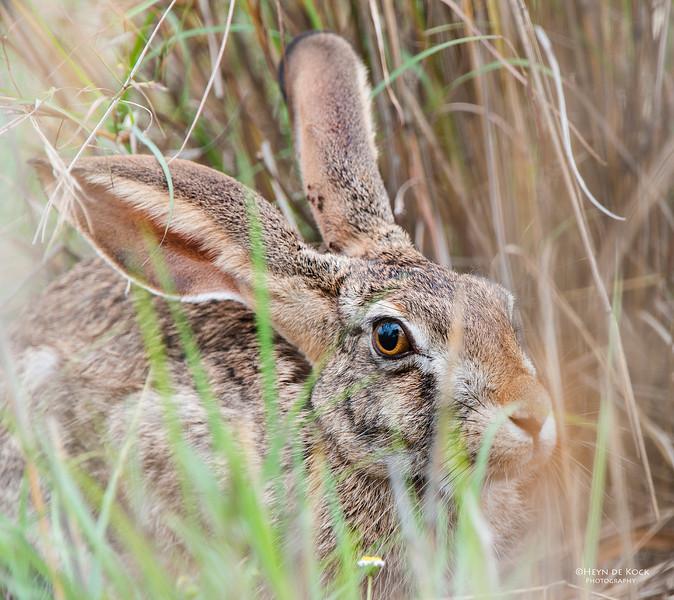 Scrub Hare, Pilansberg National Park, SA, Dec 2013-1.jpg