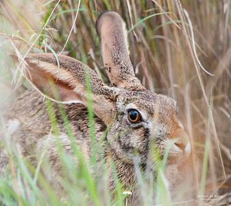 Hares & Rabbits (Leporidae)