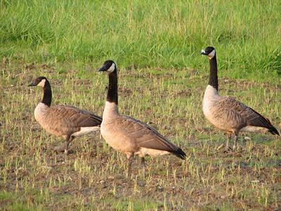 20080812 Canada Goose