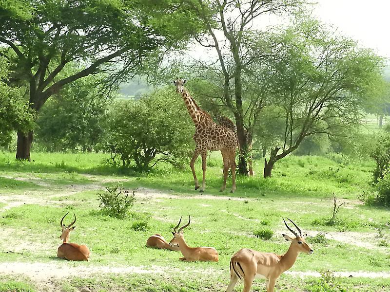 Giraffe DSCN0384.jpg
