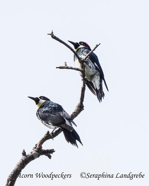 _DSC5980Acorn Woodpeckers.jpg
