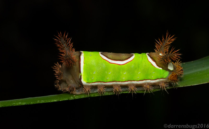 "Saddleback caterpillars (Limacodidae: Acharia stimulea) like this one may be beautiful, but one should keep their distance - those spines are capable of inflicting painful stings. (Editor's note: I tend to refer to these as ""sweater vest caterpillars."")"