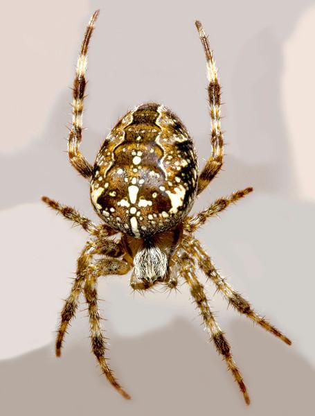 Spider_4976404100_o_8179391802_o.jpg