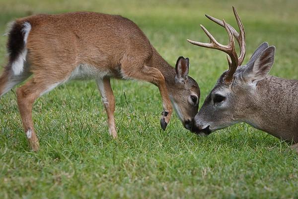 Key Deer 2010