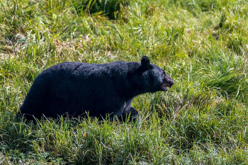 DSC 8686 black bear.jpg