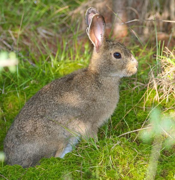 Snowshoe Hare Yellow-bellied Bog Peary Rd Sax-Zim Bog MN FIXED EYE LG IMG_4789.jpg