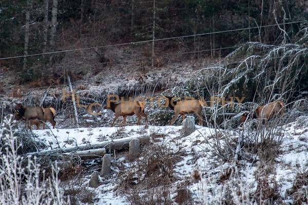 011519 Elk in Osburn, Idaho