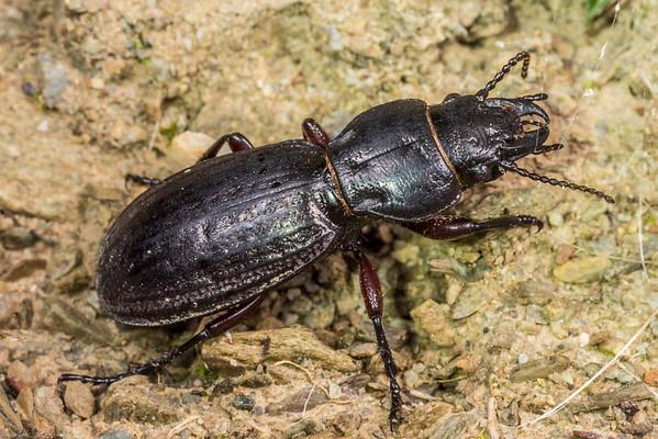 Mecodema sculpturatum