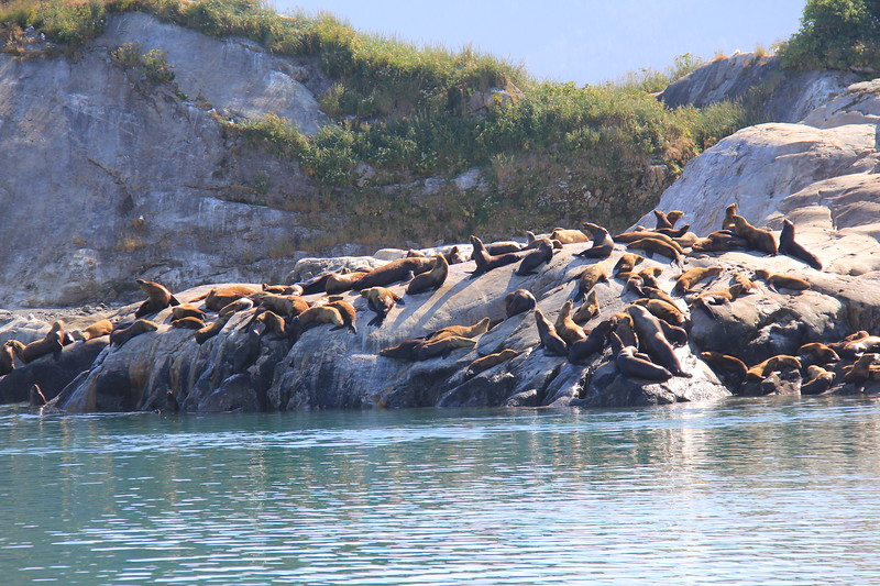 20160718-220 - WEX-Glacier Bay NP-South Marble Island-Sea Lions.JPG