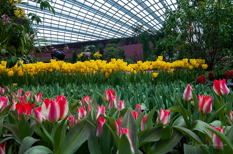 Tulipmania at the Flower Dome