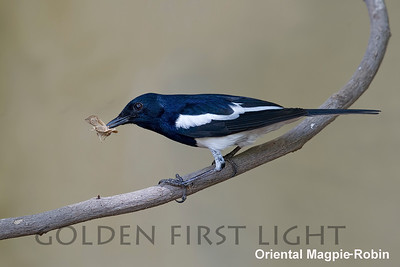 Oriental Magpie-Robin, Ranthambhore, India
