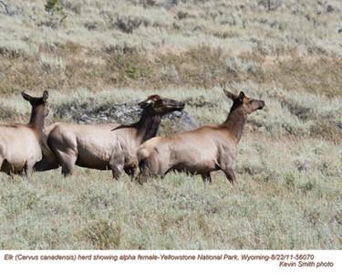 Elk F56070.jpg