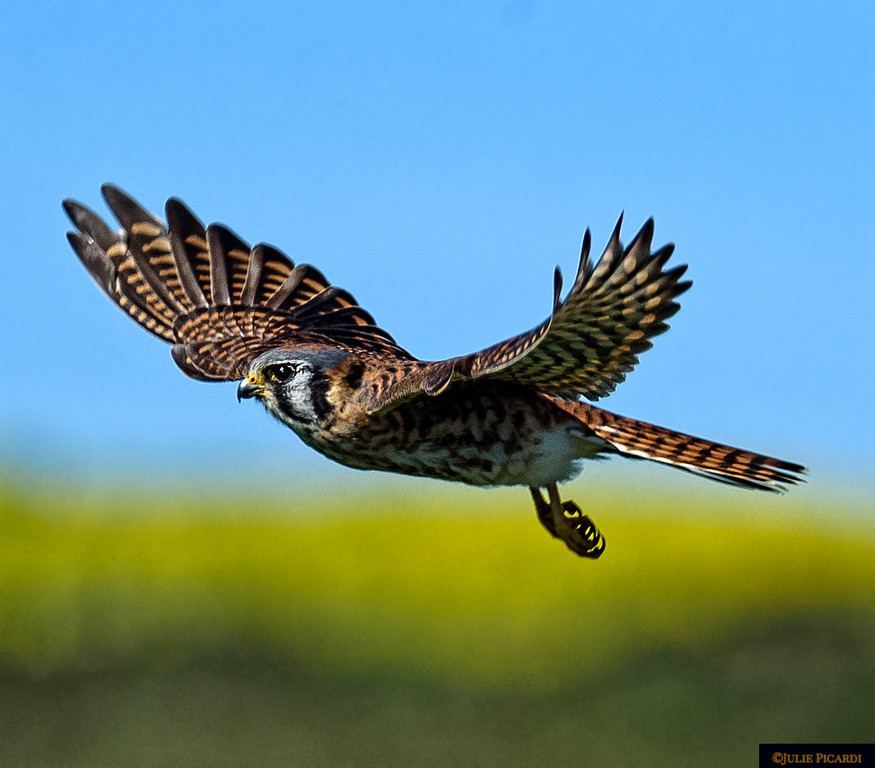 Kestrel in flight searching for his next meal.