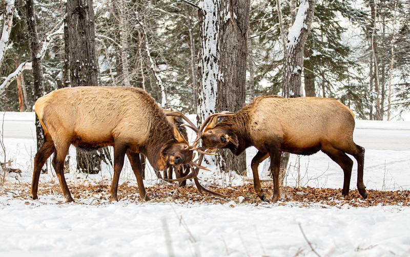Waskesiu Bull Elk Fighting (2)  December 12-28-19.jpg