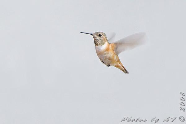 2008-11-28 Allen's Hummingbird
