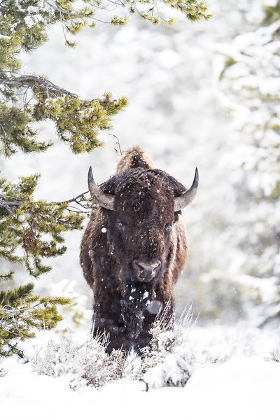 Bison in snow Yellowstone National Park WY IMG_0240.jpg