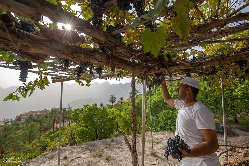 Grape - Wakan village - Nakhal219- Oman.jpg
