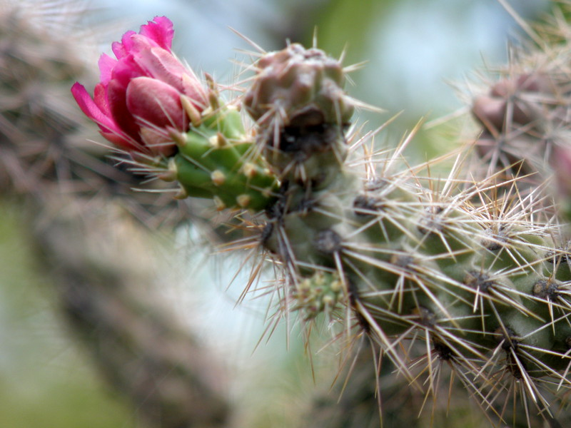 Red Cholla Blossom