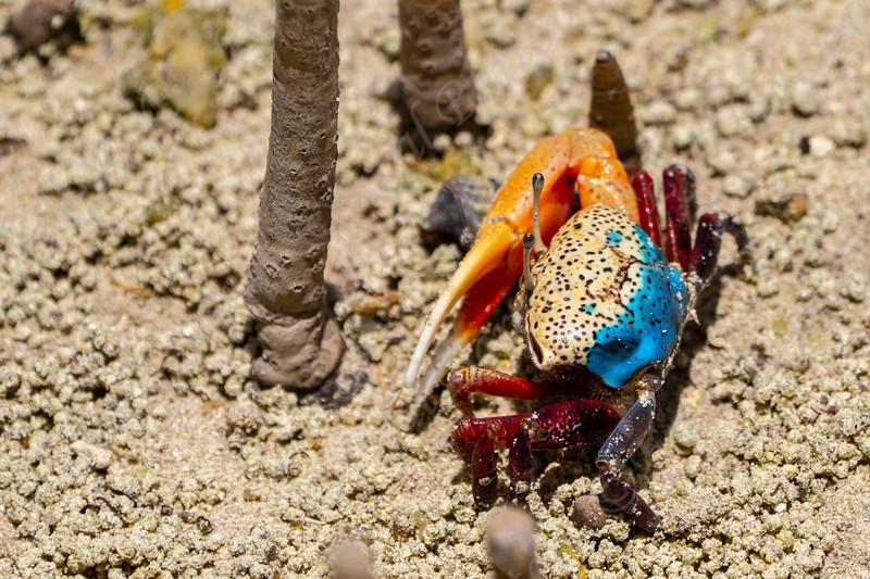 Fiddler crab male in Mangrove swamp Seychelles.jpg