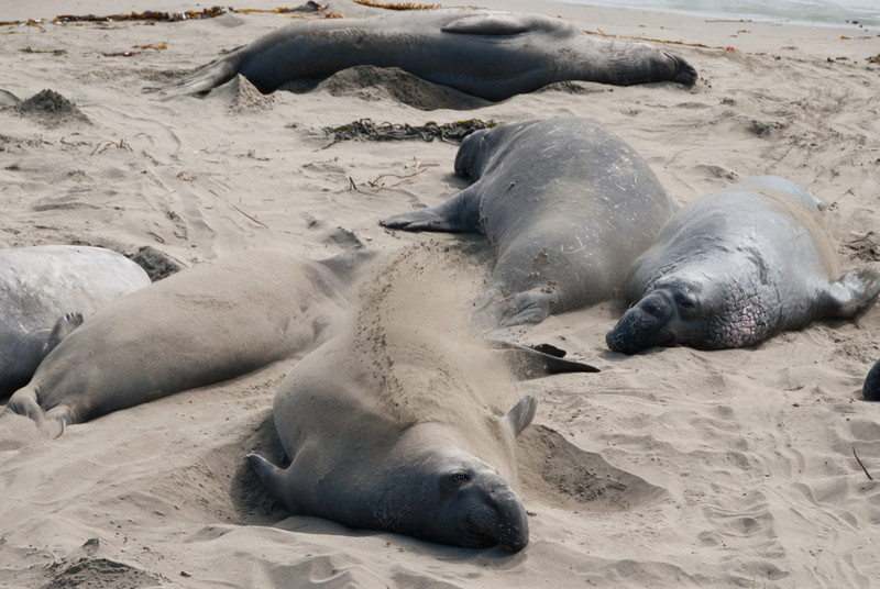 Elephant seals relaxing in the sand.