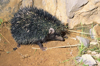 Brandt's Hedgehog