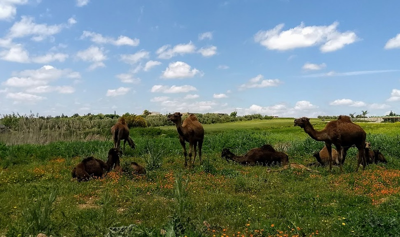 A herd of camels grazing on green landscape