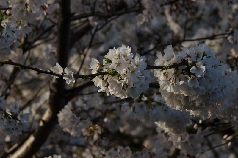 Cherry Blossom Tidal Basin Early Morning -38.jpg