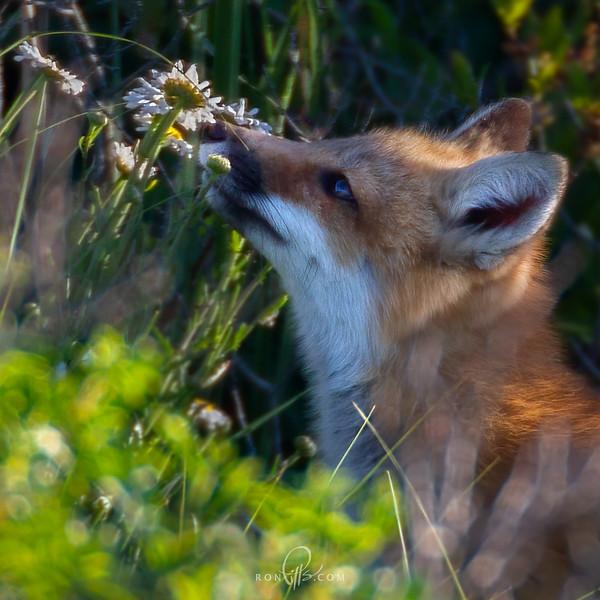 sm 3 fox_M4D1962.jpg