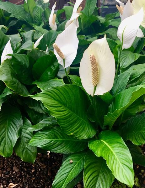 Peace Plant.jpg