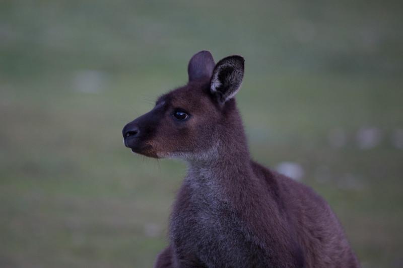 Kangaroo Island kangaroo, South Australia