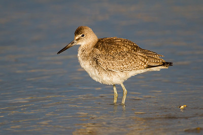 Willet and Yellowlegs (Scolopacidae)
