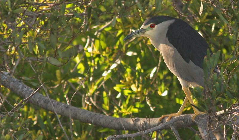 Black-Crowned Night Heron (Las Gallinas)