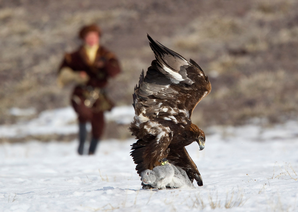 . A Kazakh hunter runs towards to his tamed golden eagle after it catches a rabbit during an annual hunting competition in Chengelsy Gorge, some 150 km (93 miles) east of Almaty February 23, 2013.  REUTERS/Shamil Zhumatov
