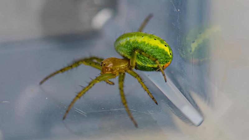 Cucumber Green Spider
